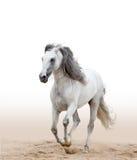 Stallone andaluso bianco Fotografia Stock