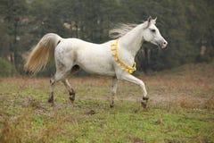 Stallone arabo bianco piacevole con la criniera di volo Fotografia Stock