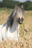 Stallone bianco splendido del cavallino della montagna di lingua gallese Fotografia Stock