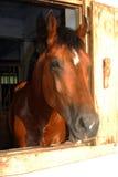 Stallone del cavallo di Brown nell'azienda agricola fotografia stock libera da diritti