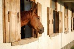 Stallone del cavallo di Brown nell'azienda agricola fotografia stock