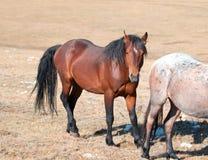 Stallone della baia del cavallo selvaggio con la fragola Roan Mare rosso su Sykes Ridge nella gamma del cavallo selvaggio delle m Fotografia Stock Libera da Diritti
