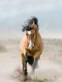 Stallone della baia in polvere Fotografie Stock Libere da Diritti