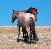 Stallone della banda della baia del mustang del cavallo selvaggio con la sua fragola Roan Mare rosso su Sykes Ridge nella gamma d Fotografie Stock