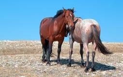 Stallone della banda della baia del mustang del cavallo selvaggio con la sua fragola Roan Mare rosso su Sykes Ridge nella gamma d Fotografie Stock Libere da Diritti
