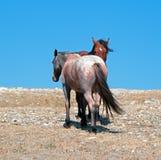 Stallone della banda della baia del mustang del cavallo selvaggio con la sua fragola Roan Mare rosso su Sykes Ridge nella gamma d Fotografia Stock Libera da Diritti