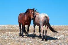 Stallone della banda della baia del mustang del cavallo selvaggio con la sua fragola Roan Mare rosso su Sykes Ridge nella gamma d Immagini Stock Libere da Diritti