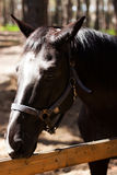 Stallone di Brown Ritratto di un cavallo marrone di sport fotografia stock