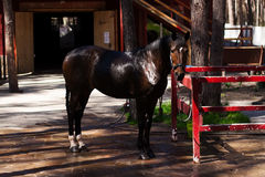 Stallone di Brown Ritratto di un cavallo marrone di sport Fotografia Stock Libera da Diritti