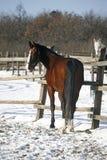 Stallone di razza che guarda indietro nel recinto chiuso di inverno Fotografie Stock