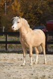 Stallone di stupore del cavallino della montagna di lingua gallese in autunno Immagini Stock Libere da Diritti