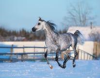 Stallone elegante grigio della razza araba di razza Fotografia Stock