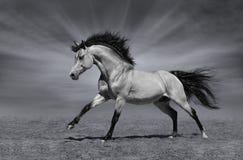 Stallone galoppante su fondo in bianco e nero Fotografia Stock Libera da Diritti