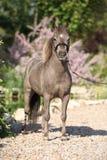 Stallone miniatura americano del cavallo Fotografie Stock Libere da Diritti