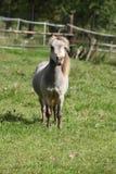 Stallone miniatura del cavallo Fotografie Stock