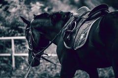 Stallone nero Fotografia Stock