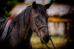 Stallone nero del destriero del cavallo fotografia stock