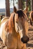 Stallone quarto americano dell'acaro degli agrumi del cavallo Immagini Stock Libere da Diritti