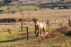 Stallone quarto americano dell'acaro degli agrumi del cavallo Fotografie Stock