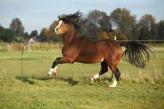 Stallone splendido del cavallino della montagna di lingua gallese con capelli neri Fotografie Stock