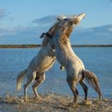 Stalloni di combattimento Fotografia Stock