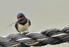 Stallschwalbe mit dem Zweig Stockfoto