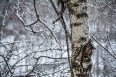 Stam av björken och modell av filialer som täckas med snö på den snöig våren Arkivfoton