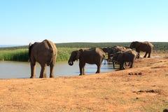 Stam av den afrikanska Bush elefanten Arkivbilder