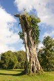 Stam av det gamla döda trädet Arkivfoton
