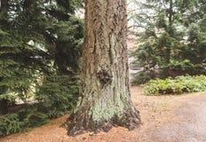 Stam av det jätte- trädet Royaltyfri Bild
