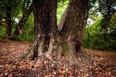 Stam av det starka trädet Royaltyfri Foto
