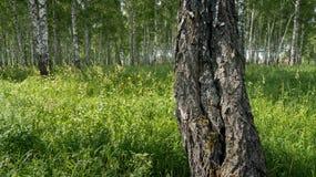 Stam av en björk i sommarskog Arkivbilder
