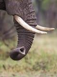 Stam av en elefant Royaltyfria Bilder