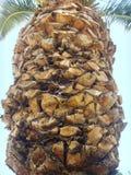 Stam av en palmträd Arkivfoton