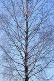 Stam av ett björkträd med filialer på en himmelbakgrund royaltyfria foton