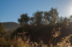 Stam av ett fältgräs Arkivbilder