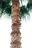 Stam av ett stort grönt afrikanskt palmträdslut upp royaltyfri fotografi