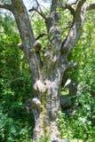 Stam av ett stort träd Arkivfoton