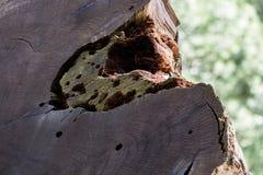 Stam av 2000 gamla träd för år Royaltyfri Fotografi