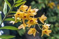Stam av gula Dendrobiumorkidéblommor som täckas i regndroppar arkivbild