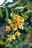 Stam av gula Dendrobiumorkidéblommor som täckas i regndroppar arkivfoton