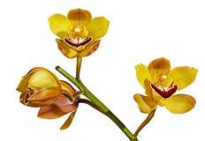 Stam av gula och magentafärgade Cymbidiumorkidéblommor arkivbild