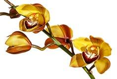 Stam av gula och magentafärgade Cymbidiumorkidéblommor royaltyfria bilder