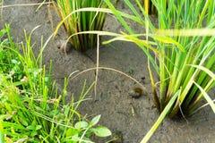 Stam av risväxten Fotografering för Bildbyråer