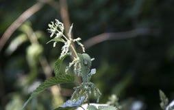 Stam en bladeren van netel op een achtergrond van groen met een kever stock afbeeldingen