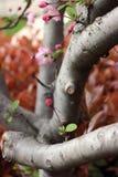 Stam för körsbärsrött träd Arkivbild