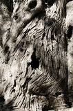 stam för olive tree Arkivbild