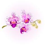 Stam för orkidélila- och vitPhalaenopsis med illustrationen för vektor för blomma- och knoppcloseuptappning den redigerbara Arkivbild