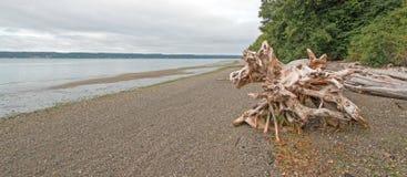 Stam för träd för deadwood för Joemma stranddelstatspark på Pebble Beach på lågvatten Arkivfoton
