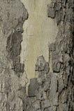 stam för tree för bakgrundsskäll ringa Royaltyfria Foton